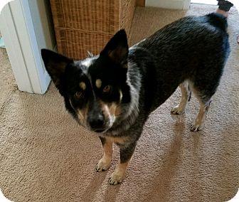Cattle Dog Dog for adoption in Thousand Oaks, California - Steve