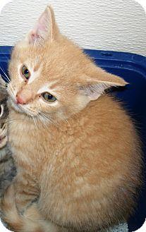 Domestic Shorthair Kitten for adoption in Kalamazoo, Michigan - Macon