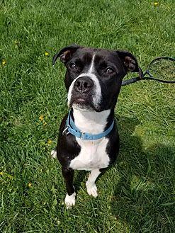 Boxer Mix Dog for adoption in Seville, Ohio - Lola
