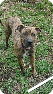 American Pit Bull Terrier Mix Dog for adoption in Anchorage, Alaska - Isabella