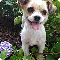 Adopt A Pet :: Ariel-ADOPTION PENDING - Bridgeton, MO