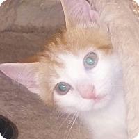 Adopt A Pet :: Marsi - Centerton, AR
