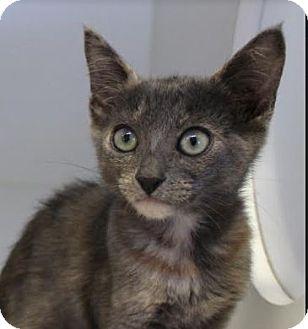 Domestic Shorthair Kitten for adoption in Red Bluff, California - Jan