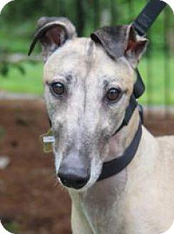 Greyhound Dog for adoption in Nashville, Tennessee - Charlie