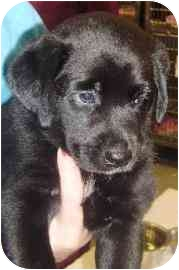 Labrador Retriever Mix Puppy for adoption in Walker, Michigan - Will