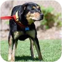 Rottweiler/German Shepherd Dog Mix Dog for adoption in Denver, Colorado - Mika