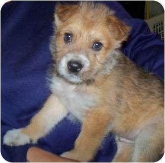 Terrier (Unknown Type, Medium) Mix Puppy for adoption in Detroit, Michigan - Teddy