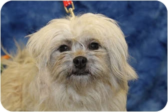 Shih Tzu Mix Dog for adoption in Broomfield, Colorado - Lotus