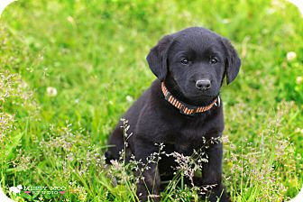 Labrador Retriever/Border Collie Mix Puppy for adoption in West Richland, Washington - Meisie