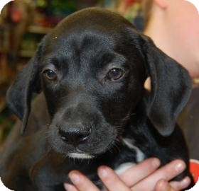 Labrador Retriever Mix Puppy for adoption in Brooklyn, New York - Bill