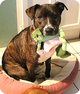 American Staffordshire Terrier/Boxer Mix Dog for adoption in House Springs, Missouri - Tahini