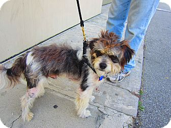 Terrier (Unknown Type, Small) Mix Dog for adoption in Culver City, California - Bandit