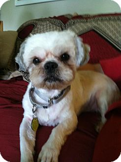 Shih Tzu/Lhasa Apso Mix Dog for adoption in North Olmsted, Ohio - Persius