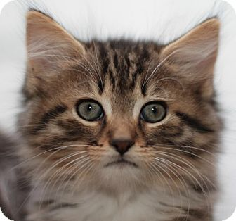 Domestic Mediumhair Kitten for adoption in Winston-Salem, North Carolina - Diamond