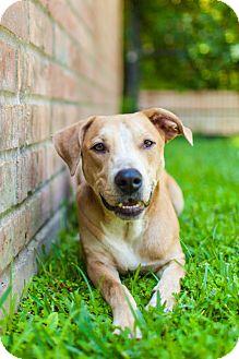Labrador Retriever/Retriever (Unknown Type) Mix Puppy for adoption in Houston, Texas - Lucky