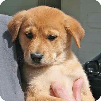 Golden Retriever/Hound (Unknown Type) Mix Puppy for adoption in Blountstown, Florida - Cinderella