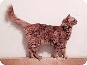 Domestic Mediumhair Cat for adoption in Palm Springs, California - Zoe