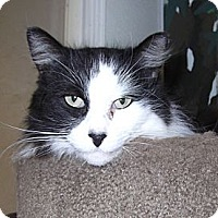 Domestic Mediumhair Cat for adoption in Chico, California - Cry Baby
