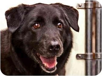 Labrador Retriever Dog for adoption in Long Beach, New York - Ebony