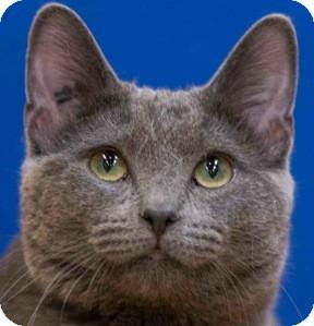 Domestic Shorthair Kitten for adoption in Calgary, Alberta - Arnie