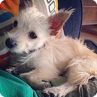 Adopt A Pet :: Princess Peanut - plano, TX