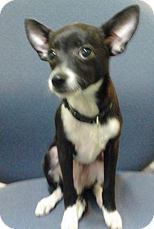 Chihuahua Puppy for adoption in Savannah, Georgia - Hermes