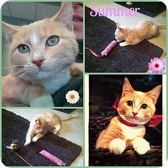 Domestic Shorthair Cat for adoption in Lincoln, Nebraska - SUMMER