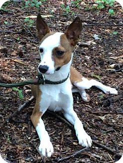 Jack Russell Terrier/Feist Mix Puppy for adoption in Hagerstown, Maryland - Phil