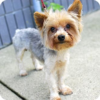 Yorkie, Yorkshire Terrier Mix Dog for adoption in Detroit, Michigan - Deetz-Adopted!