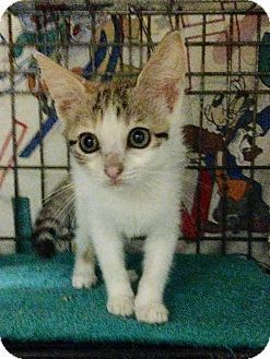 Calico Kitten for adoption in East Brunswick, New Jersey - Ginger