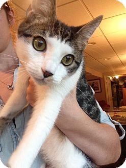 Domestic Shorthair Kitten for adoption in Colmar, Pennsylvania - Finn