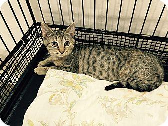 Domestic Shorthair Kitten for adoption in Speonk, New York - Harper