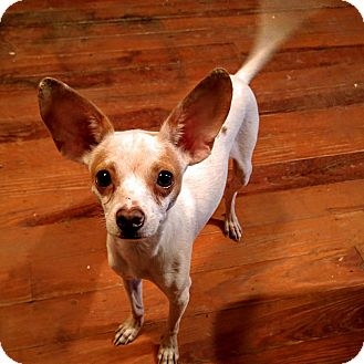 Chihuahua Mix Dog for adoption in Austin, Texas - Lefty