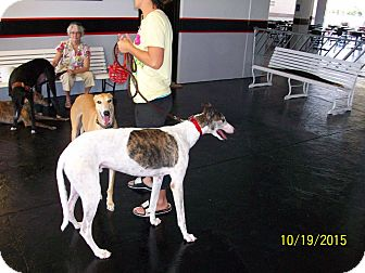 Greyhound Dog for adoption in Sarasota, Florida - Yosemite Sam