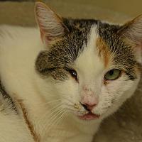 Domestic Shorthair Cat for adoption in Westbury, New York - Missy