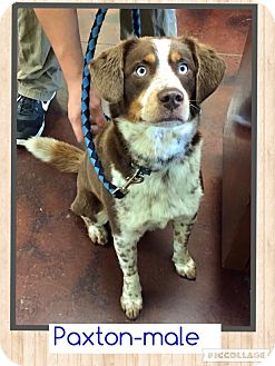 Australian Shepherd/Labrador Retriever Mix Dog for adoption in Windham, New Hampshire - Paxton