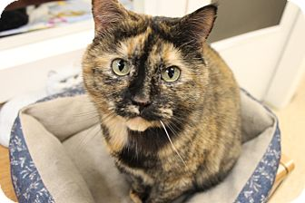 Domestic Shorthair Cat for adoption in Medina, Ohio - Molly