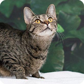 Domestic Shorthair Cat for adoption in Houston, Texas - Sugar