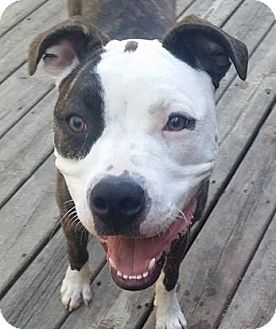Pit Bull Terrier/Boxer Mix Dog for adoption in Dundee, Michigan - Fontina - Adoption Pending