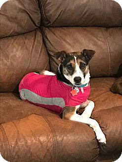Parson Russell Terrier Mix Dog for adoption in Redding, California - Abby
