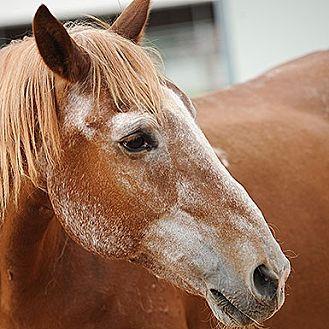 Mustang for adoption in Kanab, Utah - Quecho
