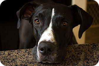 Great Dane Puppy for adoption in Phoenix, Arizona - Harper