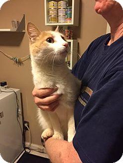 Domestic Shorthair Cat for adoption in Fairfax, Virginia - Cheezitz