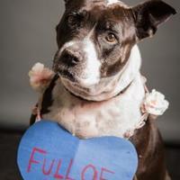 Adopt A Pet :: Pudge - Bradenton, FL