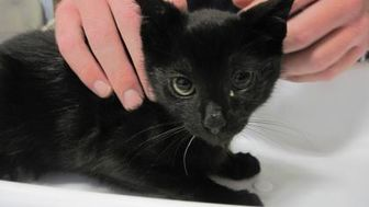 Domestic Shorthair/Domestic Shorthair Mix Cat for adoption in Wantagh, New York - Pineapple