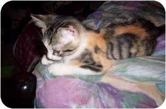 Calico Kitten for adoption in Muskegon, Michigan - TULIP
