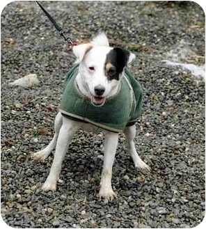 Jack Russell Terrier Mix Dog for adoption in Rhinebeck, New York - Petey