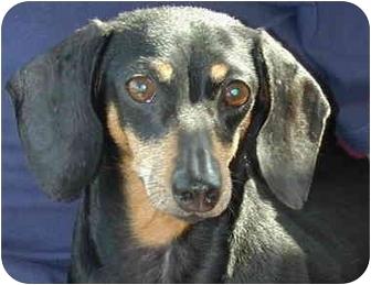 Dachshund Dog for adoption in Greensboro, North Carolina - Lily - Courtesy Listing