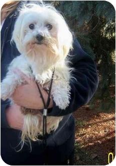 Maltese Dog for adoption in Rossford, Ohio - ASHLEY