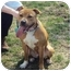 Photo 1 - American Staffordshire Terrier Dog for adoption in West Warwick, Rhode Island - Tessa